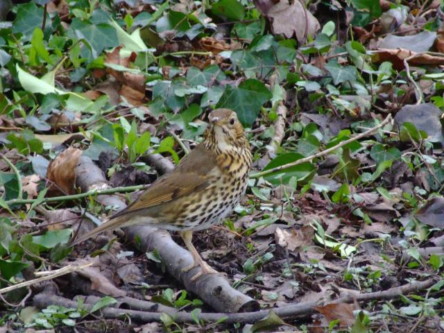Song Thrush Turdus philomelos Bird Images