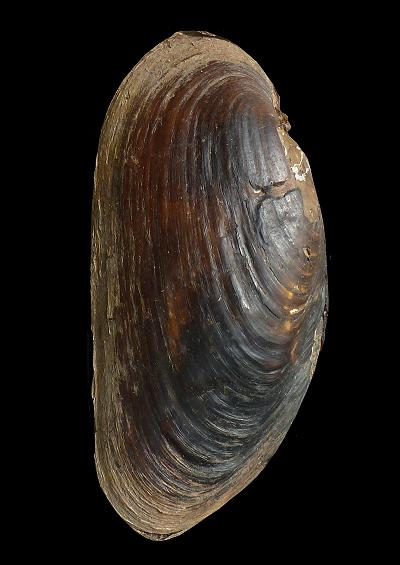 Freshwater Bivalves Mollusc Images UK