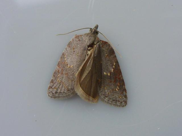 Acleris sparsana Tortrix Moth images
