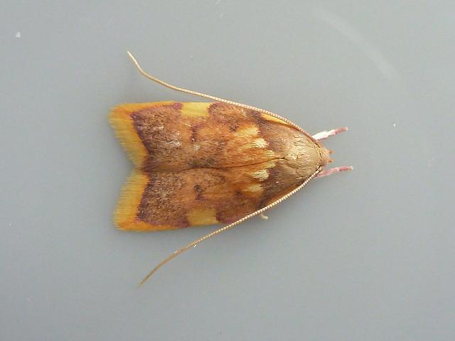 Carcina quercana Micro Moth images