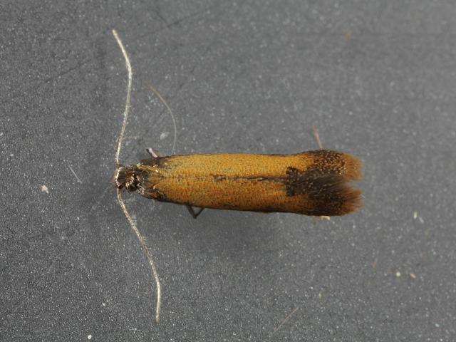 Coptotriche marginea Micro moth Images Lepidoptera