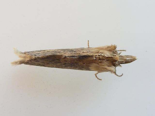 Pterostoma palpina Pale Prominent Moth images