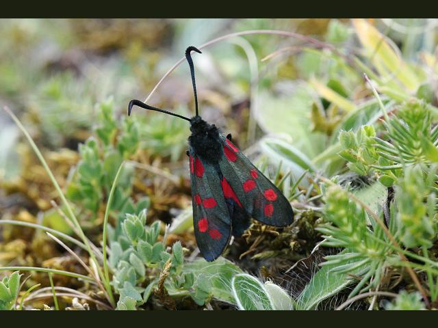 Zygaena filipendulae Six Spotted Burnet Moth