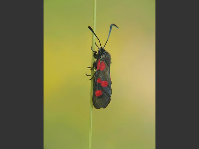 Zygaena trifolii Five Spotted Burnet Moth