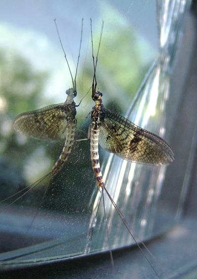 Mayfly Ephemeroptera Images UK