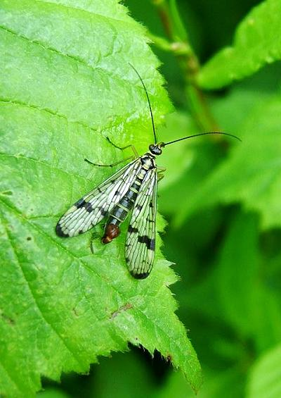 Scorpion Fly Panorpa germanica Mecoptera Images UK