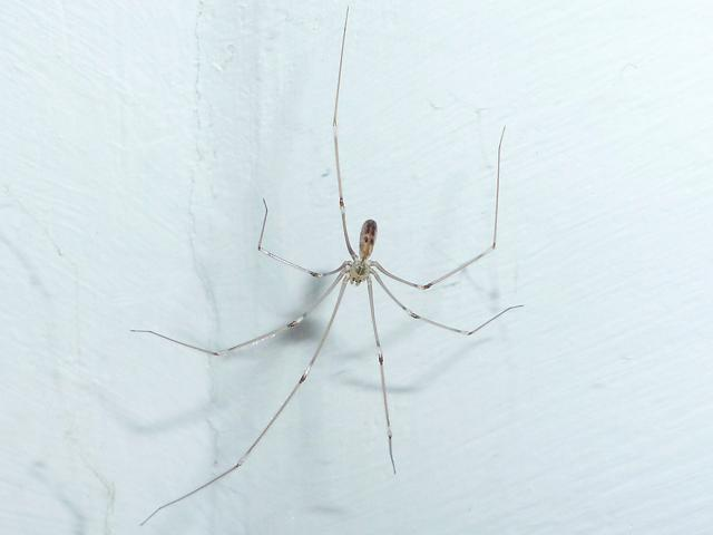Pholcus phalangioides Daddy long legs Cobweb Spider Arachnid Images